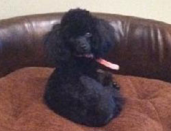Minnie Lou the Toy Poodle