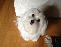 Mollie the Maltese