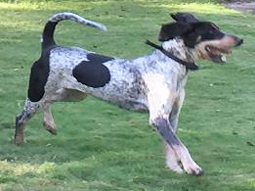 Molly-Bluetick-Coonhound