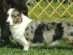 Morgan the Cardigan Welsh Corgi