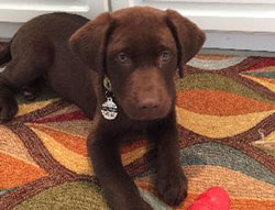 Murphy the Labrador Retriever