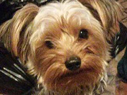 Niccoh-Yorkshire-Terrier