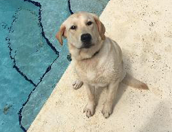 Olive the English Labrador Retriever