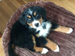 Ollie-Bernese-Mountain-Dog