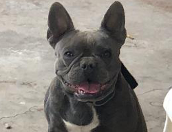 Paris the French Bulldog