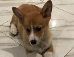 Peanut the Welsh Corgi