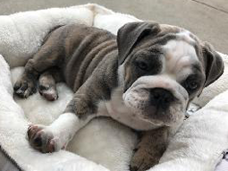 Pebbles-English-Bulldog