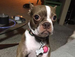Pippa the Boston Terrier