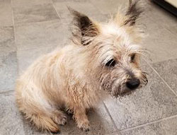 Pippin the Cairin Terrier