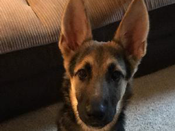 Raven the German Shepherd