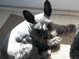 Reggie the Miniature Schnauzer