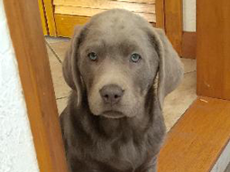 Riley-Ralston-Queen-Labrador-Retriever