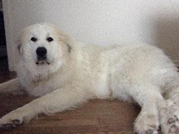 Sampson Great Pyrenees