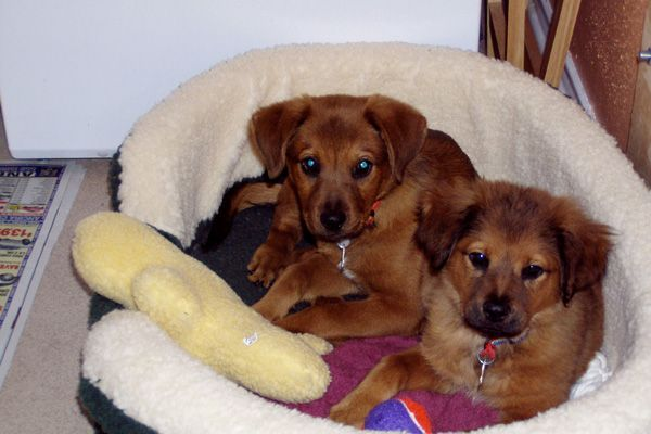Samson-and-Cleo-as-puppies-Web