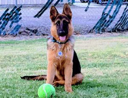 Sarge Jeff the German Shepherd