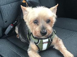 Sergeant Oscar the Yorkshire Terrier