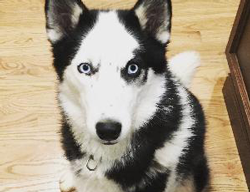 Shelby the Siberian Husky Mix