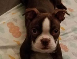 Sophie Bella the Boston Terrier