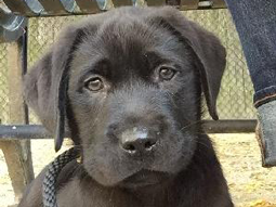 Spike-Labrador-Retriever