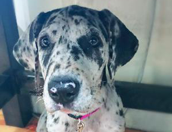 Stella Oreo the Great Dane