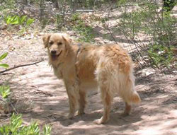 Tagger Sullivan Mackenzie the Golden Retriever