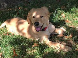 Tucker-Golden-Retriever