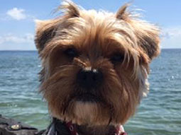 Tucker-Yorkshire-Terrier