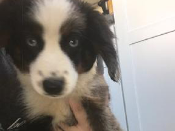 Willow-Australian-Shepherd