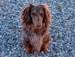 Wynn the Dachshund