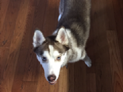 Brown the Husky