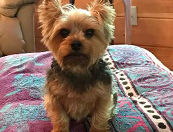 Harley the Yorkshire Terrier